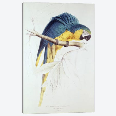 Blue and yellow Macaw  Canvas Print #BMN252} by Edward Lear Canvas Print