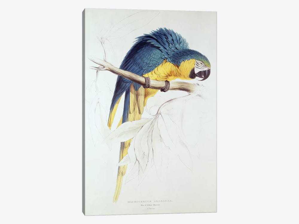 Blue and yellow Macaw  by Edward Lear 1-piece Canvas Print