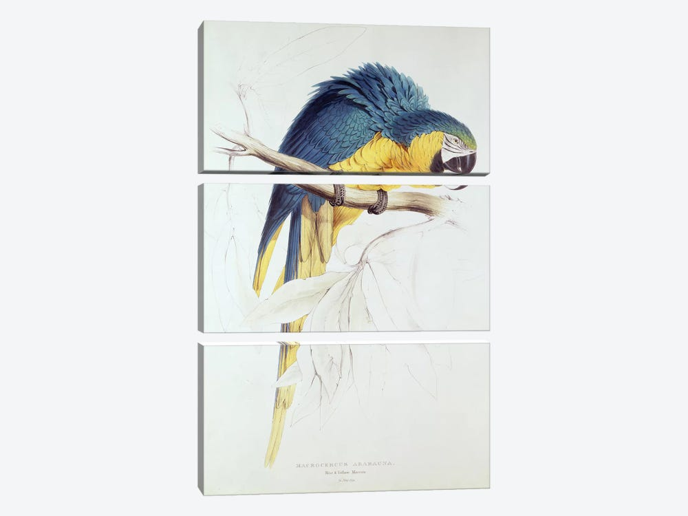 Blue and yellow Macaw  by Edward Lear 3-piece Canvas Art Print