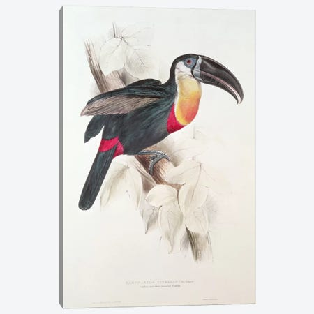 Sulphur and white breasted Toucan, 19th century  Canvas Print #BMN253} by Edward Lear Canvas Art Print