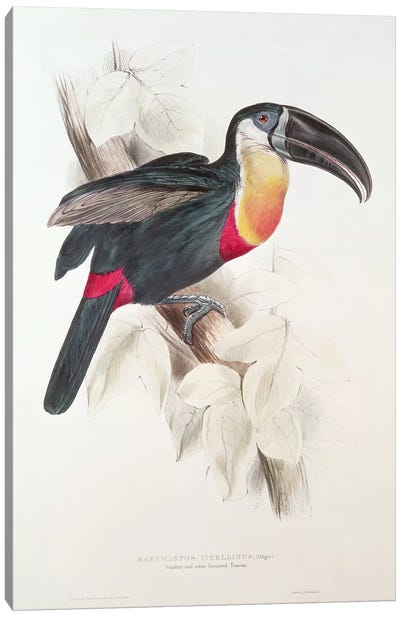 Sulphur and white breasted Toucan, 19th century  Canvas Art Print