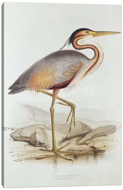 Purple Heron  Canvas Art Print