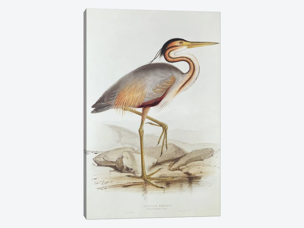 Purple Heron  by Edward Lear 1-piece Art Print