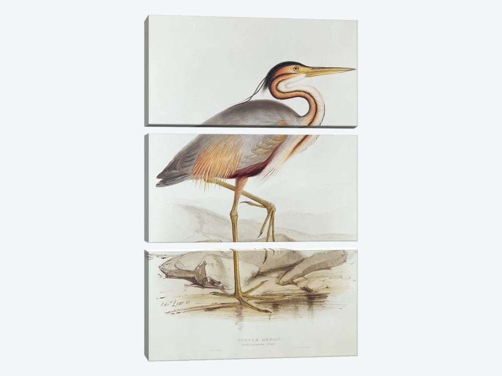 Purple Heron  by Edward Lear 3-piece Canvas Print