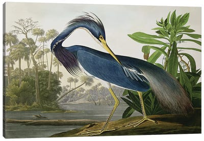 Louisiana Heron Canvas Art Print