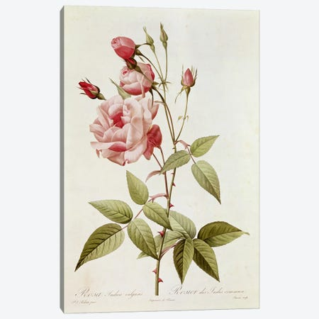 Rosa Indica Vulgaris, from 'Les Roses' by Claude Antoine Thory  Canvas Print #BMN2572} by Pierre-Joseph Redouté Canvas Art