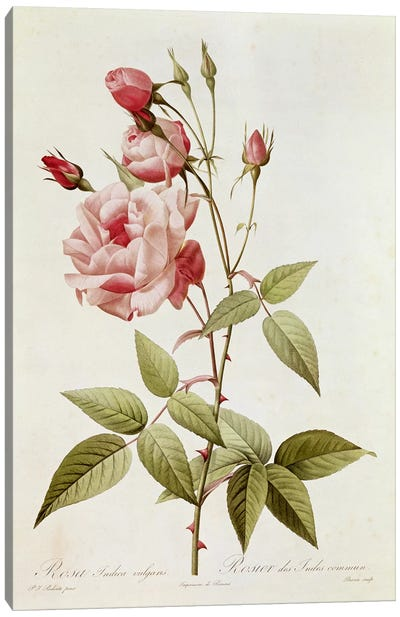 Rosa Indica Vulgaris, from 'Les Roses' by Claude Antoine Thory  Canvas Art Print