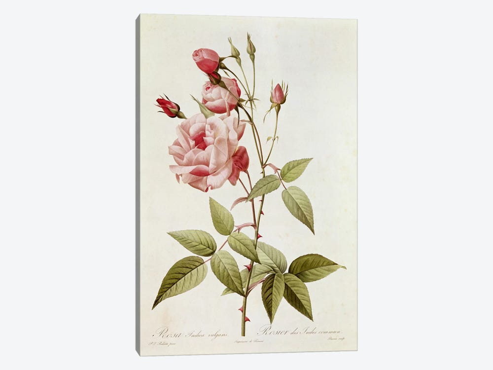 Rosa Indica Vulgaris, from 'Les Roses' by Claude Antoine Thory  by Pierre Redoute 1-piece Canvas Art