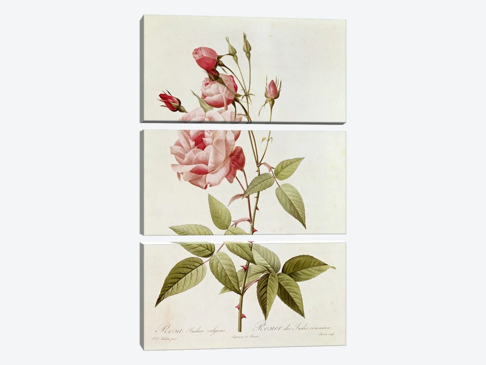 Rosa Indica Vulgaris, from 'Les Roses' by Claude Antoine Thory  by Pierre Redoute 3-piece Canvas Artwork