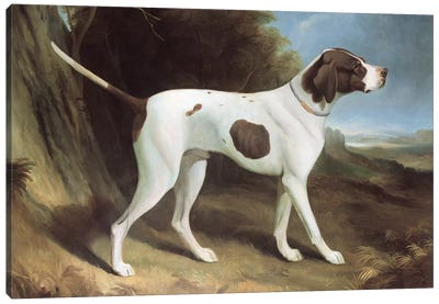 Portrait of a liver and white pointer  Canvas Art Print