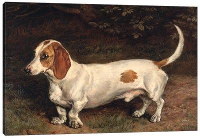 A Favourite Dachshund  Canvas Art Print