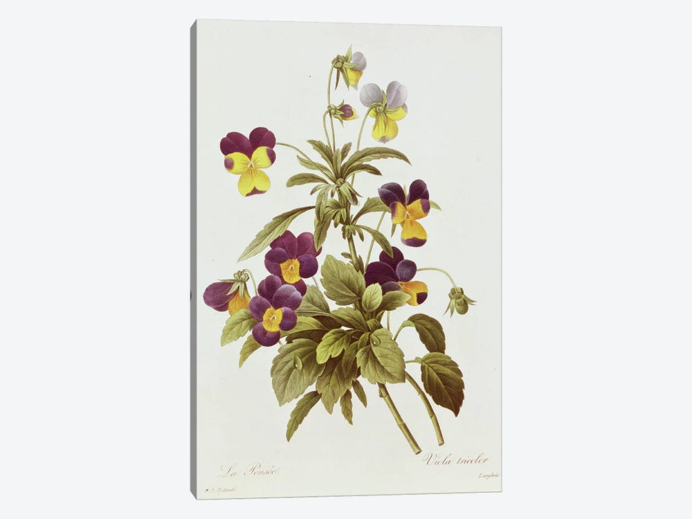 Viola Tricolour by Pierre-Joseph Redoute 1-piece Canvas Print