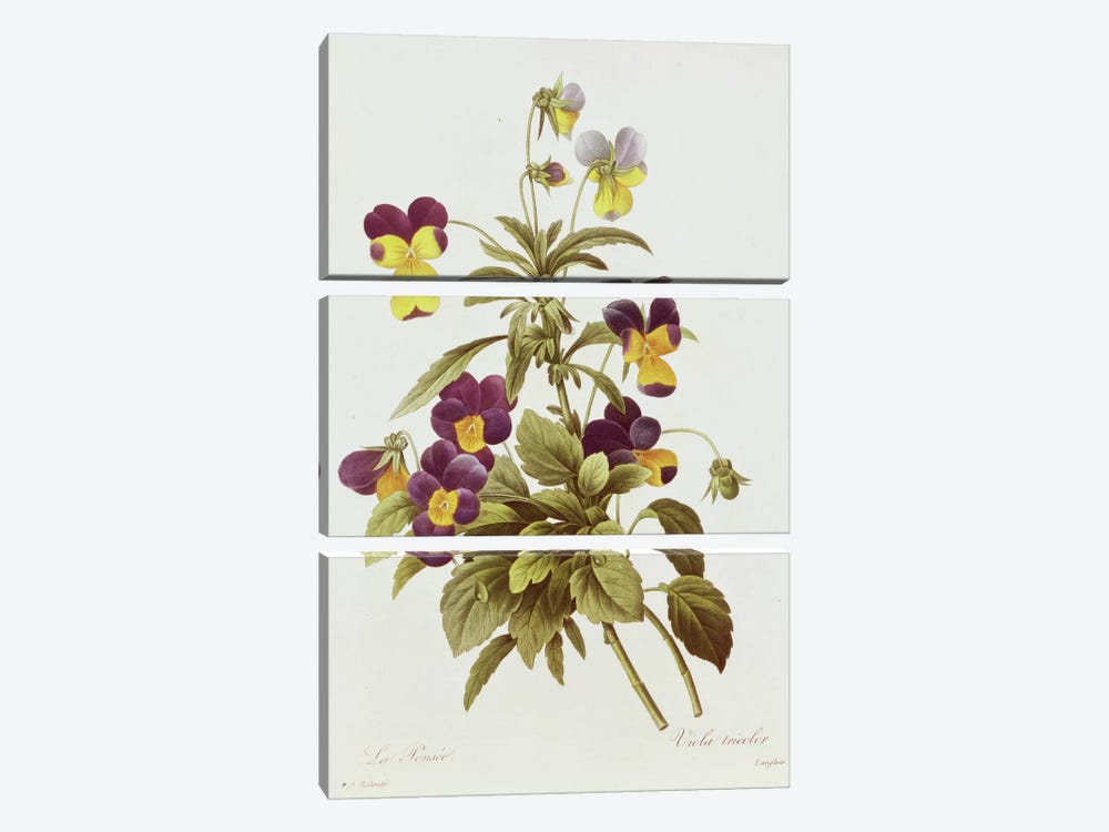 Viola Tricolour by Pierre-Joseph Redoute 3-piece Canvas Art Print