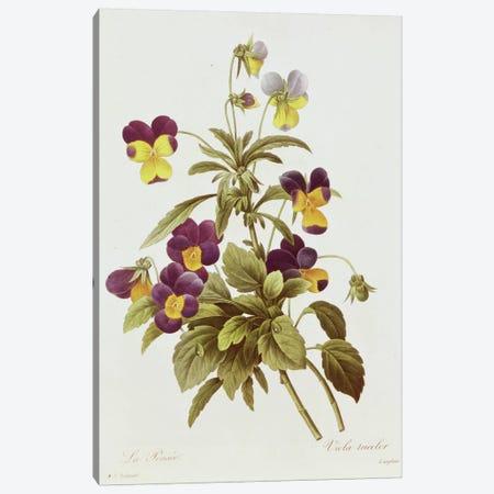 Viola Tricolour  Canvas Print #BMN269} by Pierre-Joseph Redouté Canvas Art