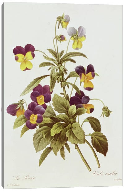 Viola Tricolour  Canvas Art Print