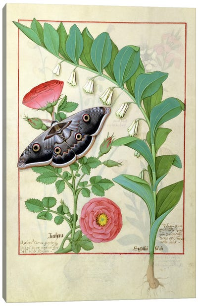 Rose And Polygonatum (Illustration From The Book of Simple Medicines) Canvas Art Print