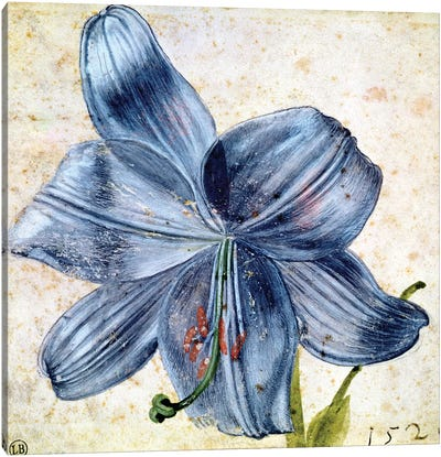 Study of a lily, 1526  Canvas Art Print