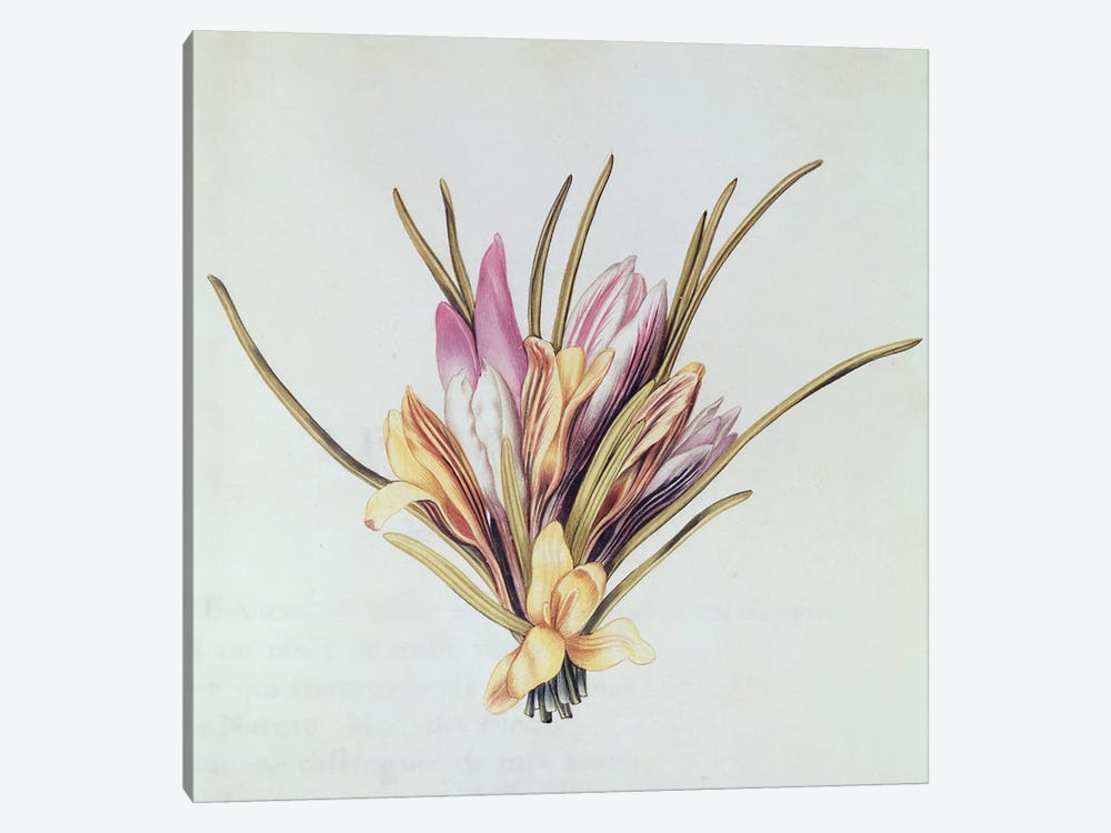 Saffron or Crocus, from 'La Guirlande de Julie', c.1642  by Nicolas Robert 1-piece Canvas Wall Art