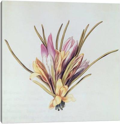 Saffron or Crocus, from 'La Guirlande de Julie', c.1642  Canvas Art Print