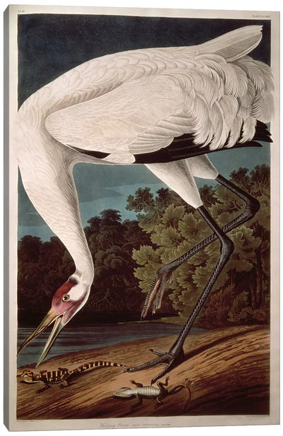 Whooping Crane Canvas Art Print