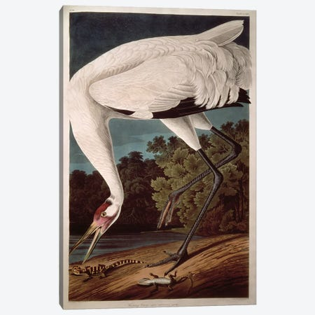 Whooping Crane Canvas Print #BMN284} by John James Audubon Canvas Print