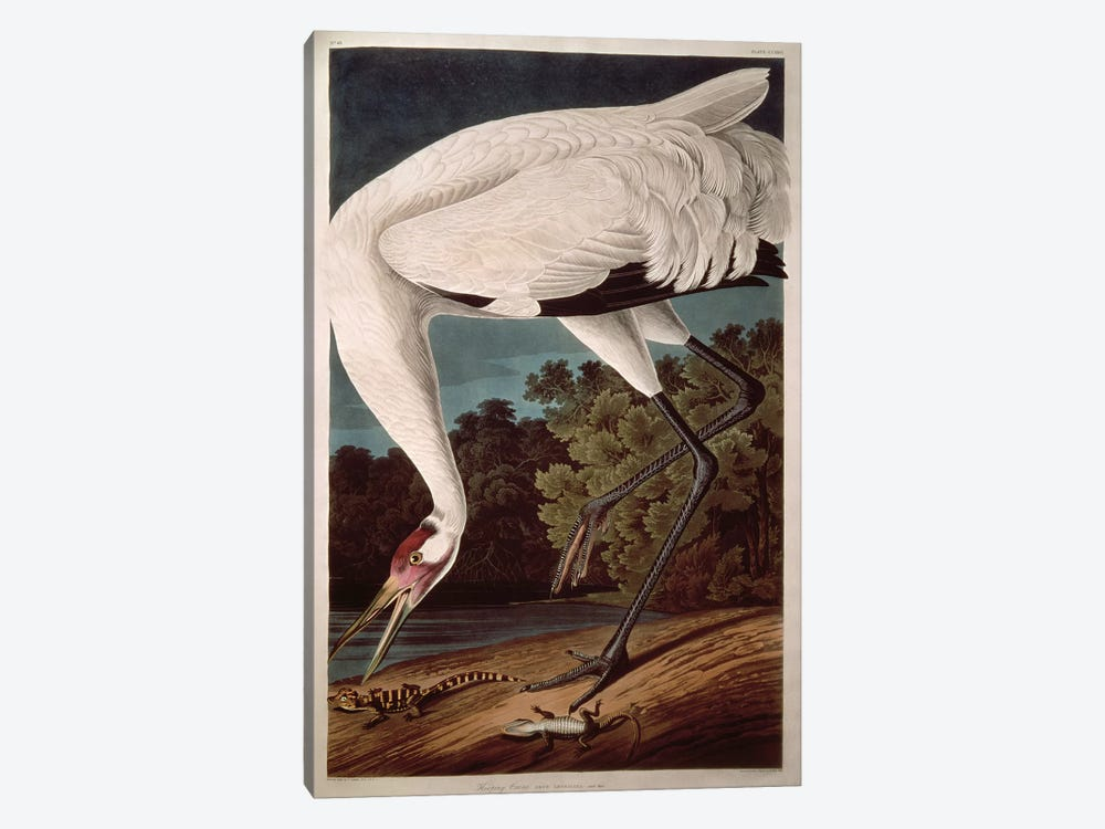 Whooping Crane 1-piece Canvas Artwork
