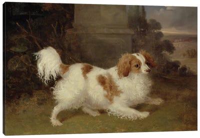 A Blenheim Spaniel, c.1820-30  Canvas Art Print