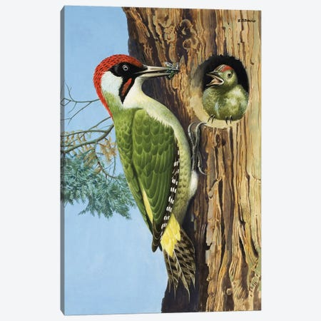 Woodpecker  Canvas Print #BMN3081} by R.B. Davis Canvas Print
