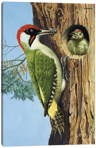 Woodpecker Canvas Art Print
