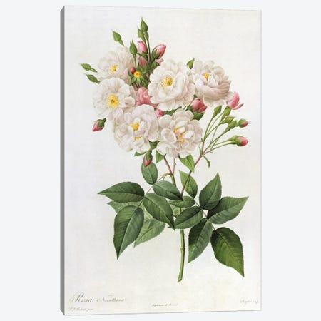 Rosa Noisettiana, from'Les Roses', 19th century 9coloured engraving) Canvas Print #BMN329} by Pierre-Joseph Redouté Canvas Art Print