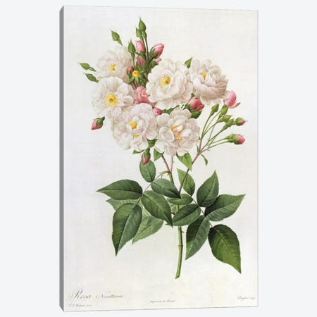 Rosa Noisettiana, from'Les Roses', 19th century 9coloured engraving) Canvas Print #BMN329} by Pierre-Joseph Redouté Canvas Art Print