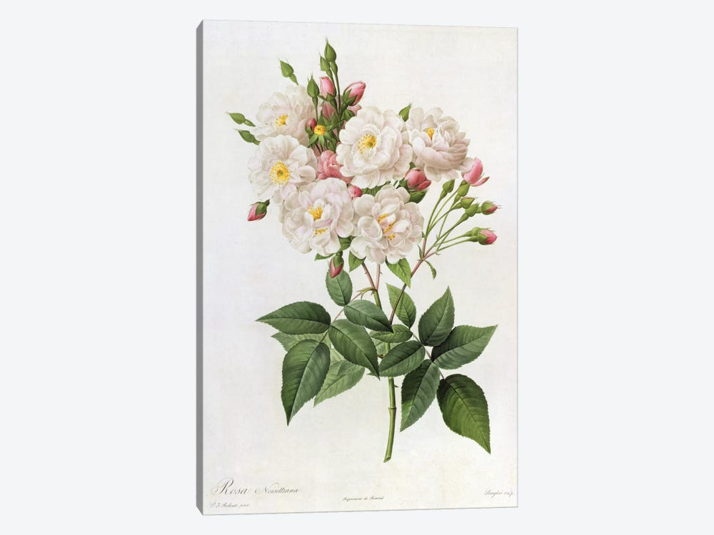 Rosa Noisettiana, from'Les Roses', 19th century 9coloured engraving) by Pierre Redoute 1-piece Canvas Art