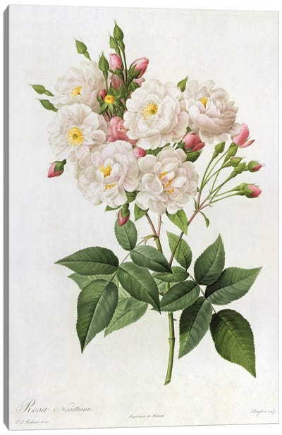 Rosa Noisettiana, from'Les Roses', 19th century 9coloured engraving) Canvas Art Print