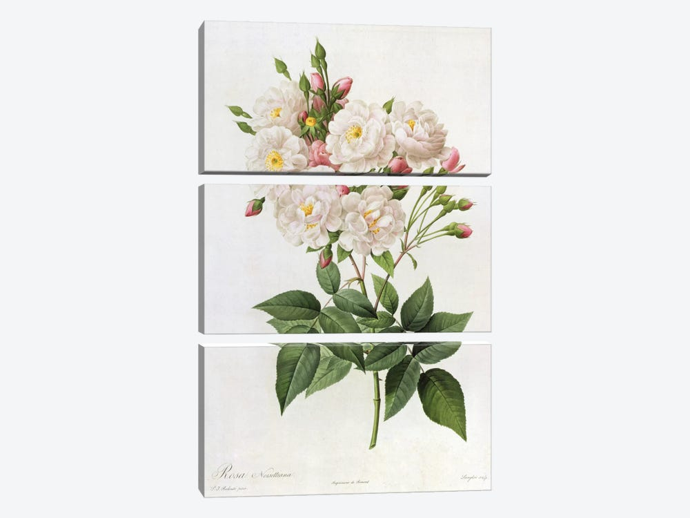 Rosa Noisettiana, from'Les Roses', 19th century 9coloured engraving) by Pierre-Joseph Redouté 3-piece Canvas Art