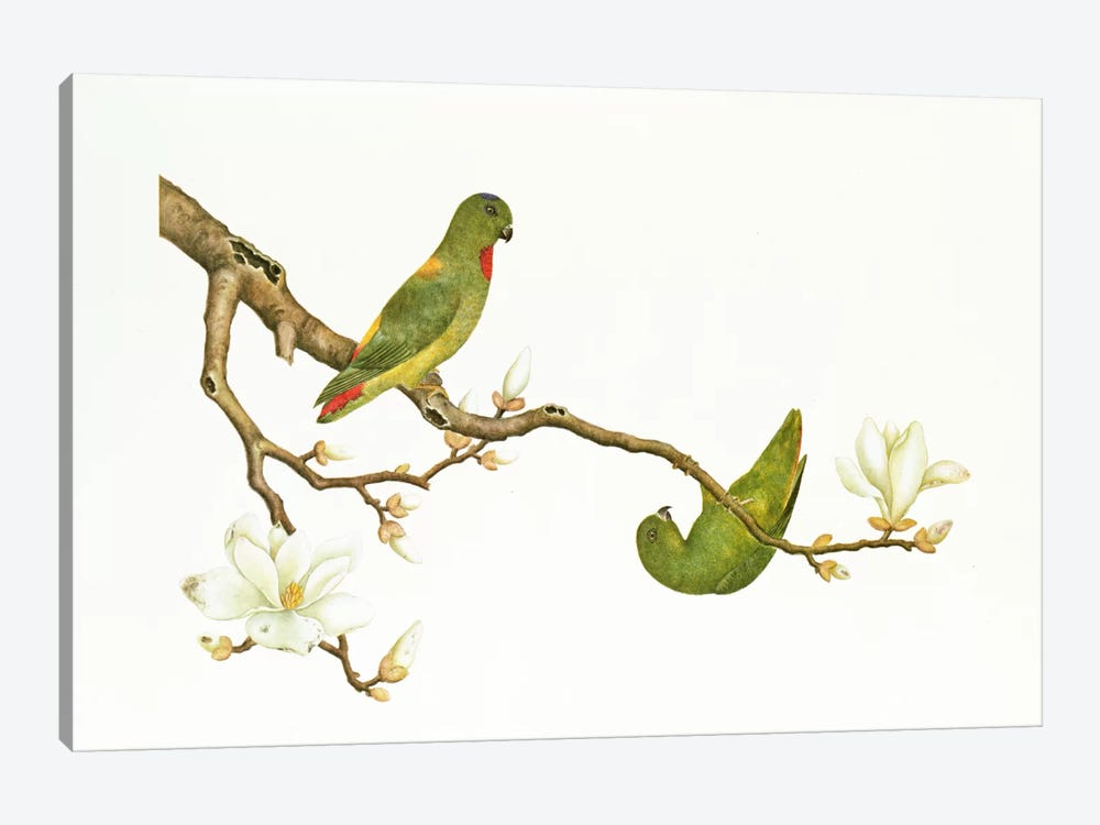 Blue-crowned parakeet, hanging on a magnolia branch, Ch'ien-lung period  by Qing Dynasty Chinese School 1-piece Art Print