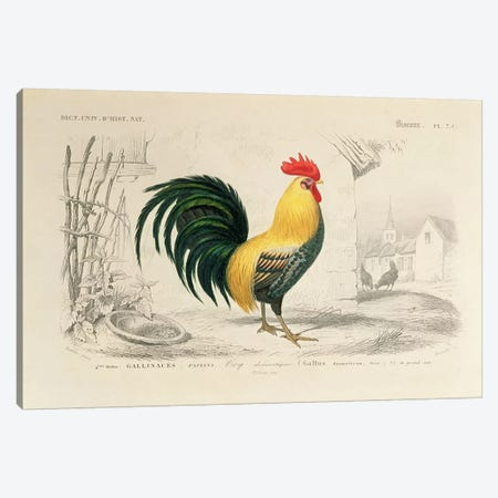 Domestic Cock, illustration from 'Dictionnaire Universel d'Histoire Naturelle' by Charles d'Orbigny, engraved by A. Fournier, 1839-49  Canvas Print #BMN3518} by Edouard Travies Canvas Print