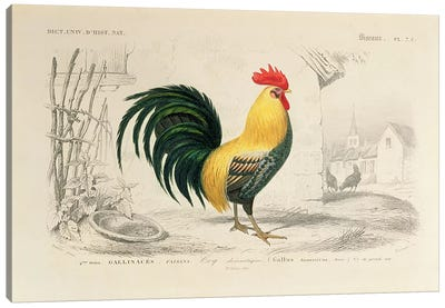 Domestic Cock, illustration from 'Dictionnaire Universel d'Histoire Naturelle' by Charles d'Orbigny, engraved by A. Fournier, 1839-49  Canvas Print #BMN3518