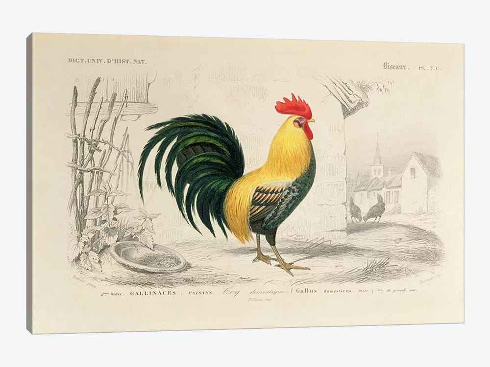 Domestic Cock, Illllustration From Dictionnaire Universel d'Histoire Naturelle by Edouard Travies 1-piece Canvas Wall Art