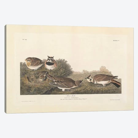 Shore Lark Canvas Print #BMN3647} by John James Audubon Canvas Artwork