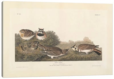 Shore Lark, illustration from 'The Birds of America', engraved, printed and coloured by Robert Havell  Canvas Print #BMN3647