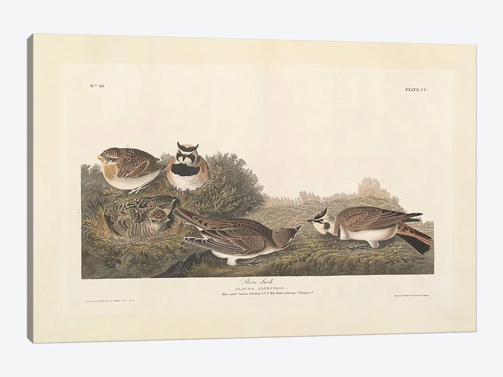 Shore Lark, illustration from 'The Birds of America', engraved, printed and coloured by Robert Havell by John James Audubon 1-piece Canvas Artwork