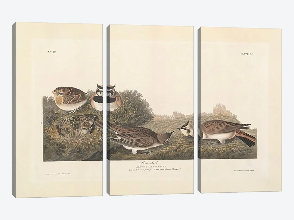 Shore Lark, illustration from 'The Birds of America', engraved, printed and coloured by Robert Havell by John James Audubon 3-piece Canvas Wall Art