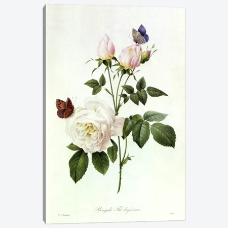 Rosa: Bengale the Hymenes, from 'Les Roses', 19th century  Canvas Print #BMN365} by Pierre Redoute Canvas Artwork