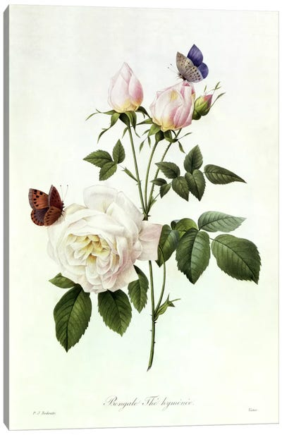 Rosa: Bengale the Hymenes, from 'Les Roses', 19th century Canvas Art Print