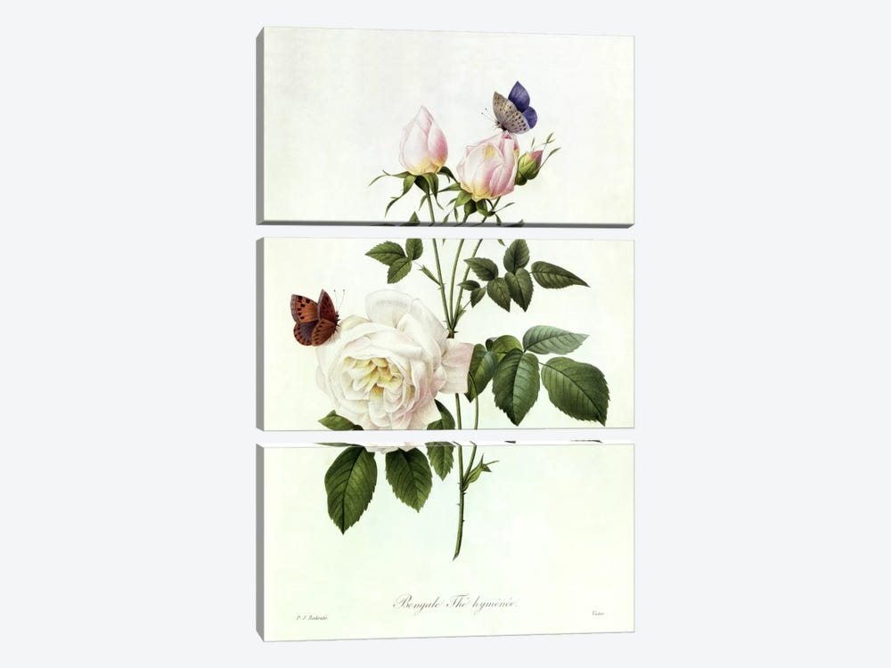 Rosa: Bengale the Hymenes, from 'Les Roses', 19th century by Pierre-Joseph Redoute 3-piece Canvas Wall Art