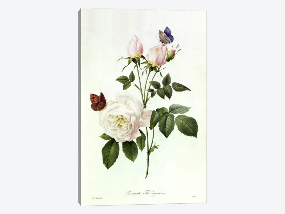 Rosa: Bengale the Hymenes, from 'Les Roses', 19th century  by Pierre-Joseph Redouté 1-piece Canvas Wall Art