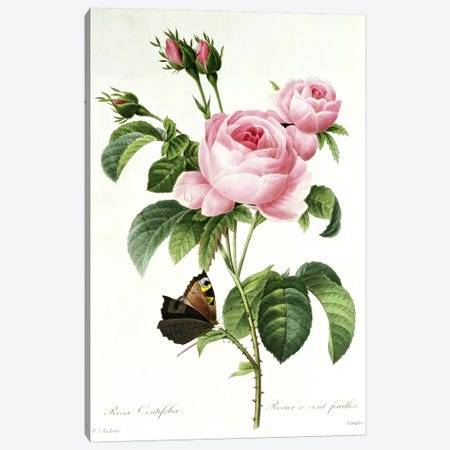 Rosa Centifolia Canvas Print #BMN366} by Pierre-Joseph Redouté Canvas Wall Art