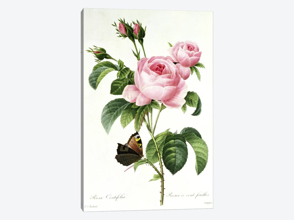 Rosa Centifolia by Pierre-Joseph Redoute 1-piece Canvas Art Print