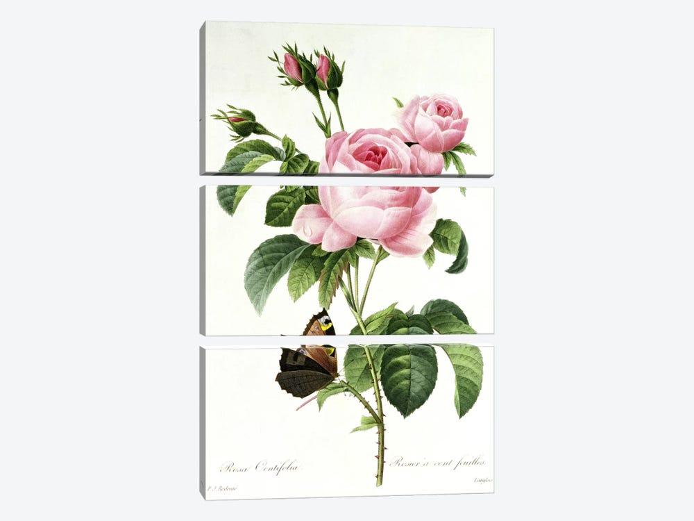 Rosa Centifolia by Pierre-Joseph Redouté 3-piece Art Print