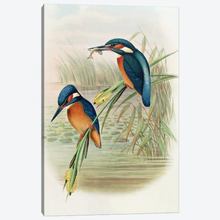 Alcedo Ispida, plate from 'The Birds of Great Britain' by John Gould, published 1862-73  Canvas Print #BMN3801} by John Gould Art Print